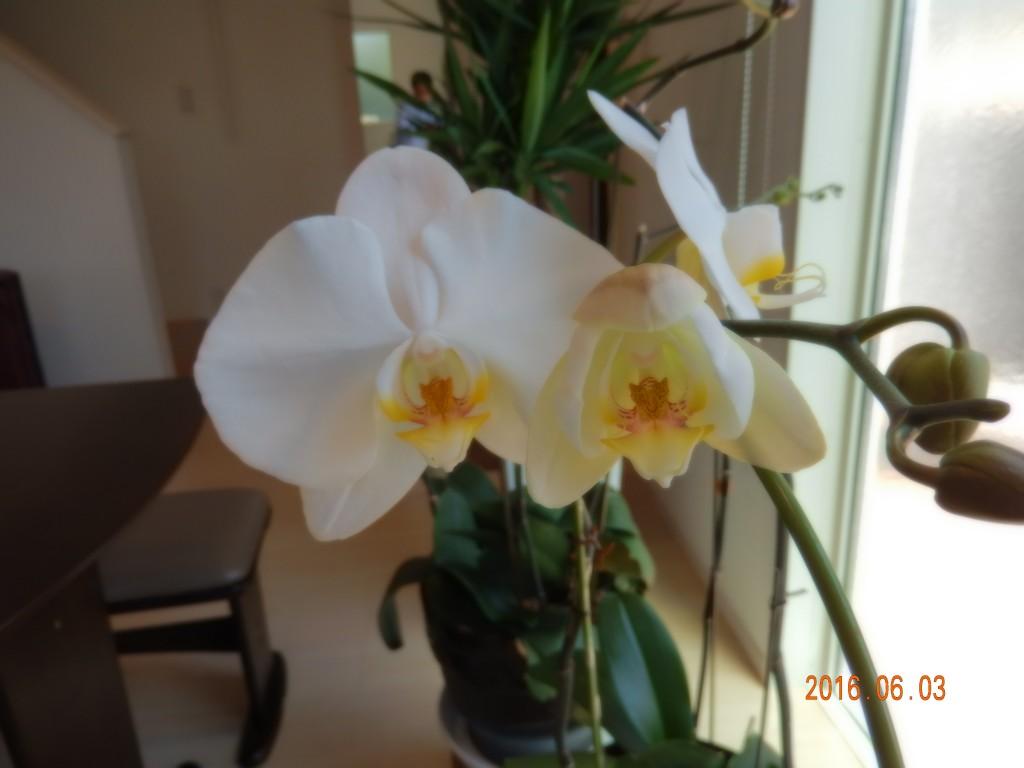 お祝いで頂いた胡蝶蘭が、もう一度咲きました!